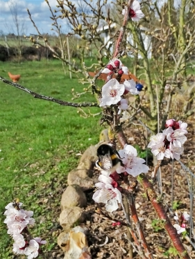 2020-03-11 LüchowSss Garten Dunkle Erdhummel (Bombus terrestris) an Aprikosenblüten (6A)