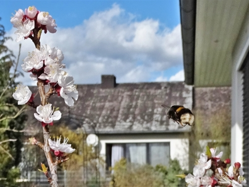 2020-03-11 LüchowSss Garten Dunkle Erdhummel (Bombus terrestris) an Aprikosenblüten (Prunus armeniaca) (7)