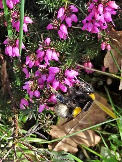 2020-03-11 LüchowSss Garten Dunkle Erdhummel (Bombus terrestris) an Winterheide (Erica carnea) (4)