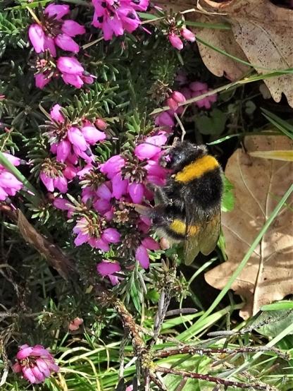 2020-03-11 LüchowSss Garten Dunkle Erdhummel (Bombus terrestris) an Winterheide (Erica carnea) (5)