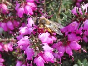 2020-03-11 LüchowSss Garten Gewöhnliche Sandbiene (Andrena flavipes) an Winterheide (Erica carnea) (2)