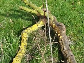 2020-03-11 LüchowSss Garten neugepflanzter Eingriffeliger Weissdorn (Crataegus monogyna)