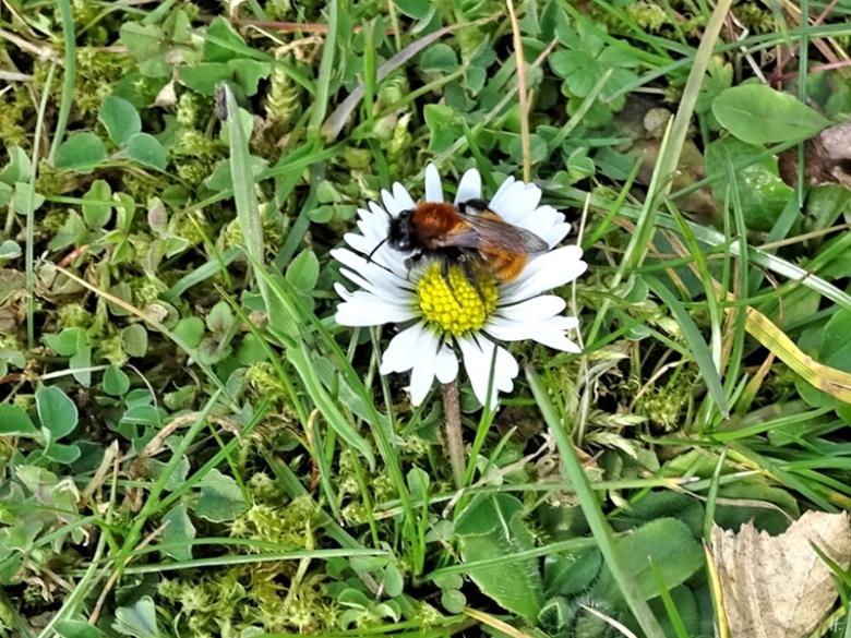 2020-03-11 LüchowSss Garten Rotpelzige Sandbiene (Andrena fulva) auf Gänseblümchen (Bellis perennis) (1)