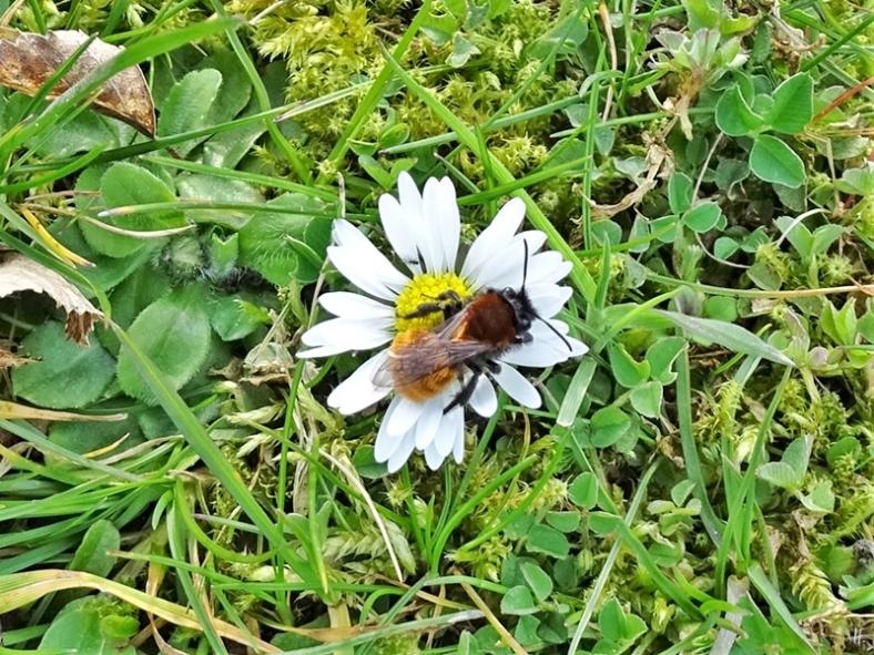 2020-03-11 LüchowSss Garten Rotpelzige Sandbiene (Andrena fulva) auf Gänseblümchen (Bellis perennis) (2)