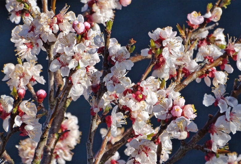 2020-03-14 LüchowSss Garten Aprikosen-Blüten (Prunus armeniaca)