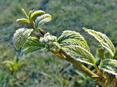 2020-03-14 LüchowSss Garten morgens 8h30 mit Frost (2) Japanischer Etagen-Schneeball (Viburnum plicata) 'Mariesii' mit Blütenknospen