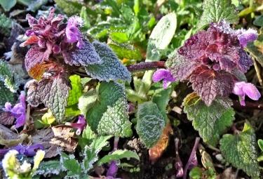 2020-03-14 LüchowSss Garten morgens 8h30 mit Frost (3) Purpurrote Taubnesseln (Lamium purpureum)