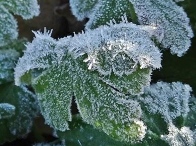 2020-03-14 LüchowSss Garten morgens 8h30 mit Frost (4) Balkan-Storchenschnabelblätter (Geranium macrorrhizum)