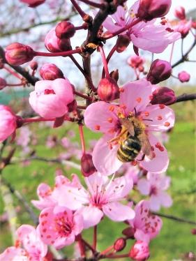 2020-03-16 LüchowSss Garten Blutpflaume (Prunus cerasifera purpureum) Blüten mit Sandbiene (Andrena spec.)