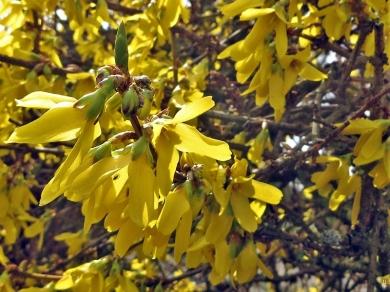 2020-03-16 LüchowSss Garten Forsythien-Blüten (Forsythia × intermedia)