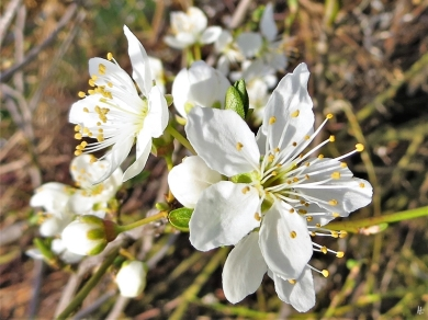 2020-03-16 LüchowSss Garten Prunus-Blüten