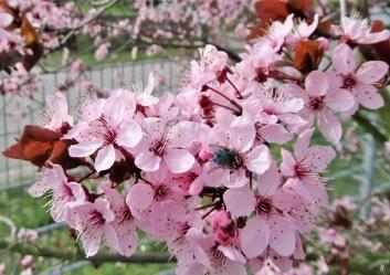 2020-03-18 LüchowSss Garten Blutpflaume (Prunus cerasifera 'Nigra') + Blaue Schmeissfliege (Calliphora vicina)