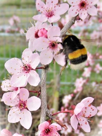 2020-03-18 LüchowSss Garten Blutpflaume (Prunus cerasifera 'Nigra') + Dunkle Erdhummel (Bombus terrestris)