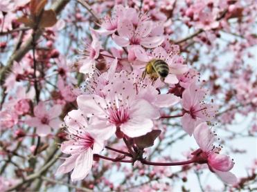 2020-03-18 LüchowSss Garten Blutpflaume (Prunus cerasifera 'Nigra') + Honigbiene (Apis mellifera) (2)