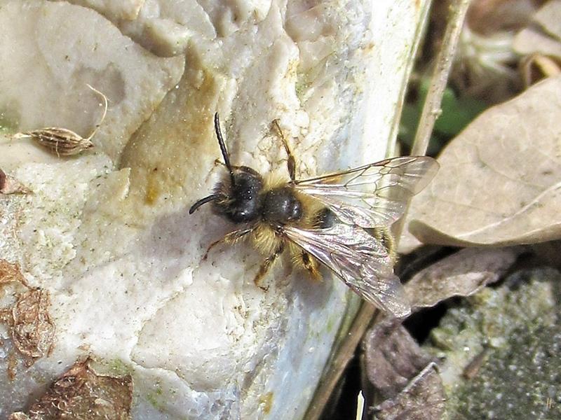 2020-03-18 LüchowSss Garten Gewöhnliche Sandbiene (Andrena flavipes) auf einem von der Sonne warmen Stein