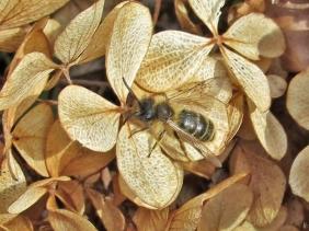 2020-03-18 LüchowSss Garten Gewöhnliche Sandbiene (Andrena flavipes) auf trockenen Blütenständen der Rispenhortensie (Hydrangea paniculata)