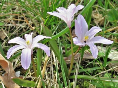2020-03-18 LüchowSss Garten Gewöhnliche Sternhyazinthe (Chionodoxa luciliae) (1)