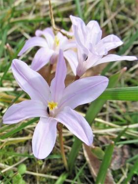 2020-03-18 LüchowSss Garten Gewöhnliche Sternhyazinthe (Chionodoxa luciliae) mit Rapsglanzkäfern (Brassicogethes aeneus)
