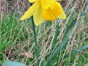 2020-03-19 LüchowSss unterwegs gelbe Narzisse - Osterglocke (Narcissus pseudonarcissus)