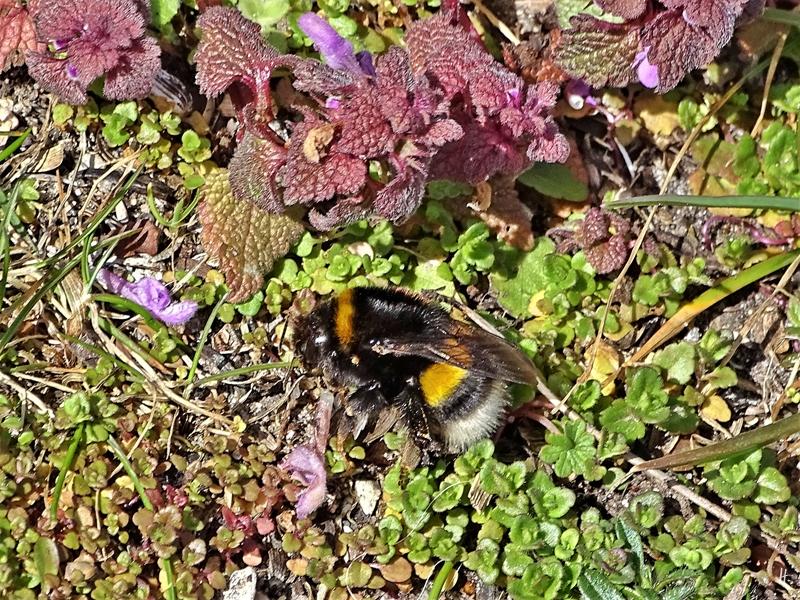 2020-03-22 LüchowSss Garten Dunkle Erdhummel (Bombus terrestris) (2) am Boden, neben heruntergefallenen Taubnesselblüten