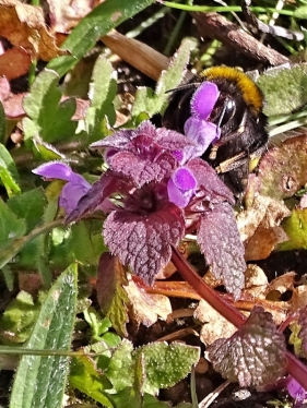 2020-03-22 LüchowSss Garten Dunkle Erdhummel (Bombus terrestris) (3) an Purpurroter Taubnessel (Lamium purpureum)