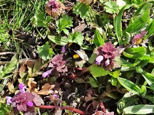 2020-03-22 LüchowSss Garten Dunkle Erdhummel (Bombus terrestris) (4) an Purpurroter Taubnessel (Lamium purpureum)