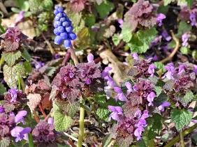 2020-03-22 LüchowSss Garten Garten- bzw. Armenische Traubenhyazinthe (Muscari armeniacum) + Purpurrote Taubnesseln (Lamium purpureum)