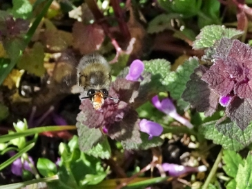 2020-03-22 LüchowSss Garten Pelzbiene (Anthophora plumipes) + Purpurrote Taubnesseln (Lamium purpureum) (3)