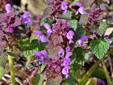 2020-03-22 LüchowSss Garten Pelzbiene (Anthophora plumipes) + Purpurrote Taubnesseln (Lamium purpureum) (8)