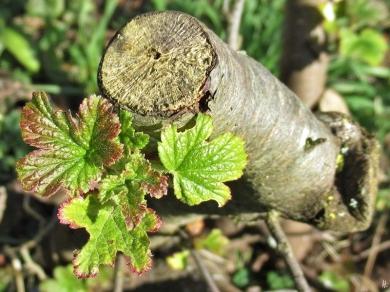 2020-03-25 LüchowSss Garten Blut- od. Zierjohannisbeere (Ribes sanguineum), neuer Ausschlag aus altem Holz