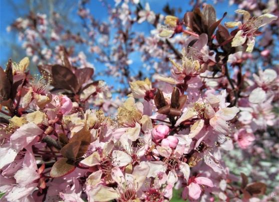 2020-03-25 LüchowSss Garten Blutpflaumenblüten (Prunus cerasifera) mit Frostschäden