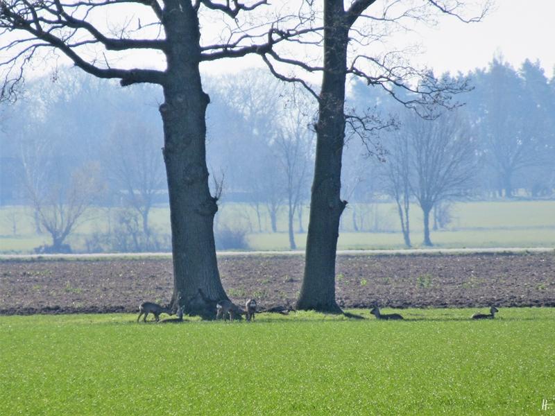 2020-03-25 LüchowSss morgens unterwegs (9) Rehe