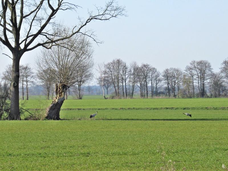 2020-03-26 LüchowSss morgens unterwegs Kraniche (Grus grus) (1)