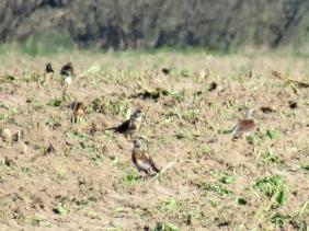 2020-03-26 LüchowSss Wacholderdrosseln (Turdus pilaris) auf dem Feld