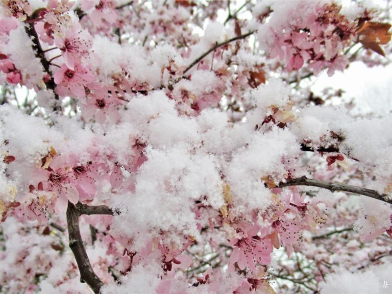 2020-03-30 LüchowSss Garten 12h mittags im Schnee Blutpflaumenblüten (2)