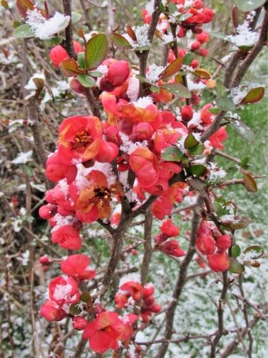 2020-03-30 LüchowSss Garten 8 Uhr morgens Schnee blühende Zierquitte