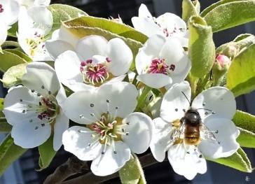 2020-04-15 LüchowSss Garten Rote Mauerbiene (Osmia bicornis syn. Osmia rufa) an Birnenblüten