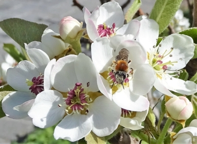 2020-04-15 LüchowSss Garten Rotschopfige Sandbiene auf Birnenblüte