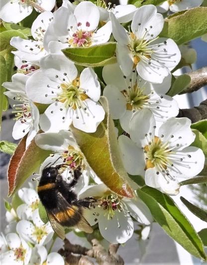 2020-04-15 LüchowSss Garten Dunkle Erdhummel an Birnenblüten