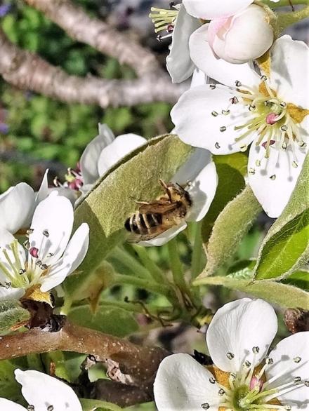 2020-04-16 LüchowSss Garten Gewöhnliche Sandbiene (Andrena flavipes) an Birnenblatt (2)