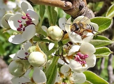 2020-04-16 LüchowSss Garten Gewöhnliche Sandbiene (Andrena flavipes) an Birnenblatt (3)