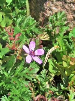 2020-04-04 LüchowSss Garten 10h30-45 Gewöhnlicher Reiherschnabel (Erodium cicutarium) (1)