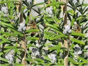 2020-04-04 LüchowSss Garten 10h30-45 Europäische Honigbiene (Apis mellifera) am Rosmarin (Rosmarinus officinalis) (1x2) was tut sie da?