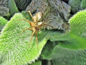 2020-04-04 LüchowSss Garten 16h20-50 Listspinne (Pisaura mirabilis) auf Wollziest (Stachys byzantina)-Blättern