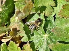 2020-04-04 LüchowSss Garten Sandbiene (Andrena flavipes) auf Balkan-Storchenschnabel-Blätttern (Geranium macrorrhizum)