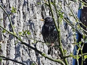 2020-04-04 LüchowSss Garten Star (Sturnus vulgaris) neben der Bruthöhle in der alten Eiche