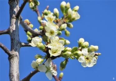 2020-04-05 LüchowSss Garten 9h-11h (55) Pflaumen-(Prunus domestica)-blüten geöffnet
