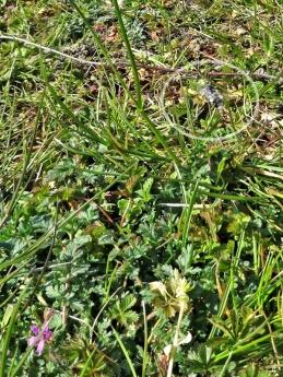 2020-04-05 LüchowSss Garten 9h-11h Gewöhnlicher Reiherschnabel (Erodium cicutarium) + Graue Sandbiene (Andrena cineraria) eingekreist