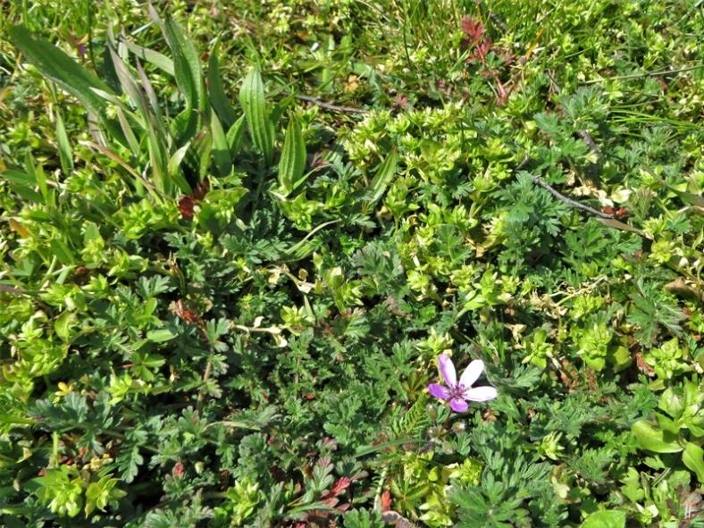 2020-04-05 LüchowSss Garten 9h-11h Gewöhnlicher Reiherschnabel (Erodium cicutarium) im Wildkräuterrasen