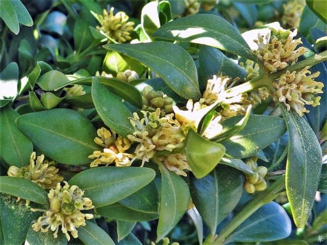 2020-04-05 LüchowSss Garten Gewöhnlicher Buchsbaum (Buxus sempervirens) (5)